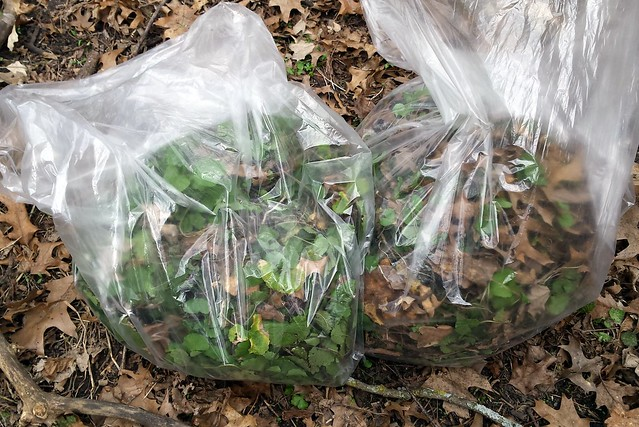 Two clear, large plastic bags half-full with green plants.