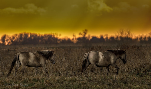 Konik Ponies at sunset
