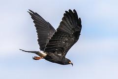 Belize Snail Kite Inflight