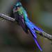 Violet-tailed Sylph (Aglaiocercus coelestis)