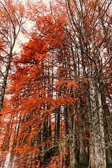 Cyprès Chauves en habit d'automne