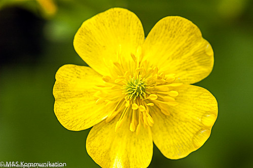 Blüte aufgenommen auf São Jorge (Azoren) - Blüte aufgenommen auf São Jorge (Azoren)