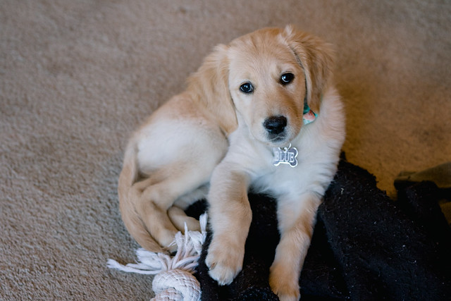 Golden Retriever Puppy: Blue at 9 weeks