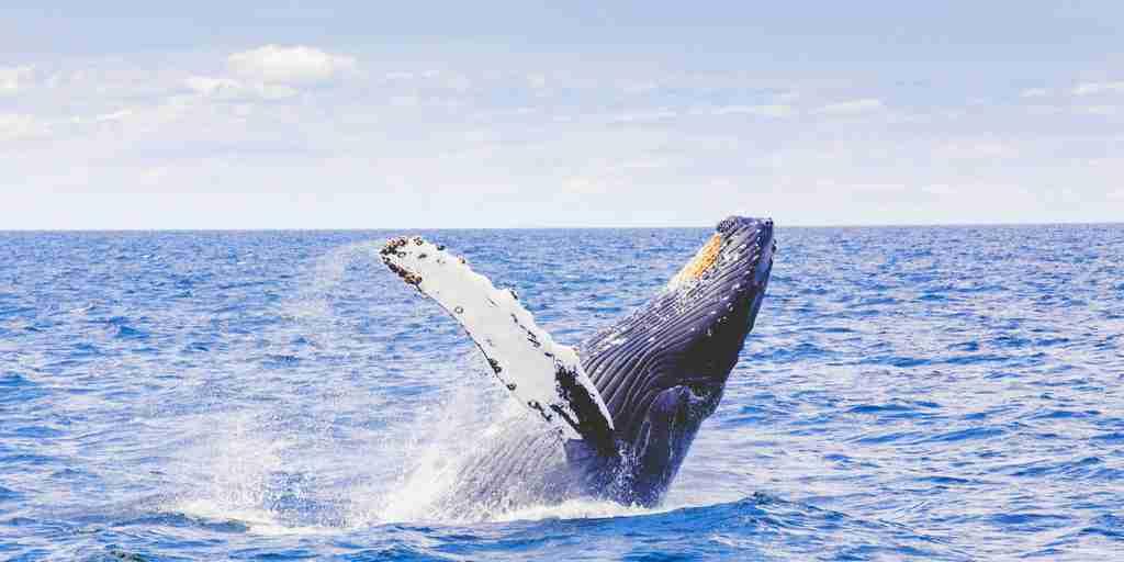 bouchon-oreille-baleine-cortisol