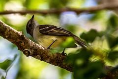 Belize, yellow & Green Bird
