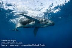 Playful humpback Calf