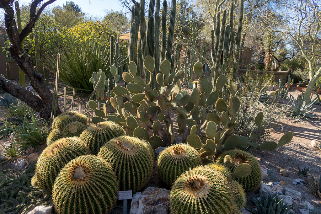 Cacti at Tucson Arizona Botanical Gardens