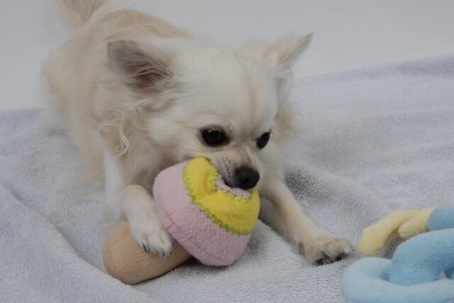衛生的に使えるおもちゃで一人遊びする犬