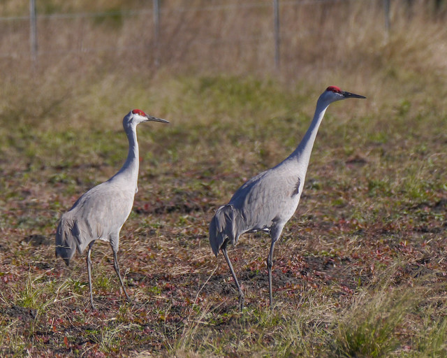 Sandhill Cranes on Ground
