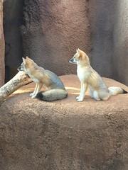 Foxes, Oklahoma City Zoo