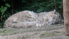 Sleeping Snow Leopard