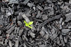 Dodonaea regeneration and charcoal after Mauna Loa Strip Road fire