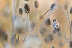 Goldfinch - Stieglitz