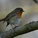 Robin ....