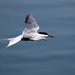 Common Tern ANR 24th June 2018