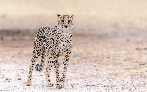 Member of coalition of four cheetah brothers