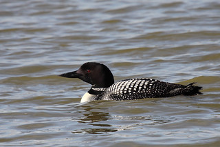 Great Northern Diver (Common Loon)