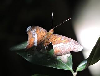 Shiwandashan/十万大山 - Lebadea martha/Knight/黎蛱蝶 DSCN5115