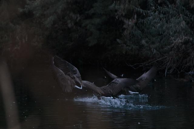 Goose Flurry