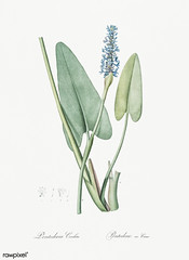 Pickerelweed illustration from Les liliacées (1805) by Pierre Joseph Redouté (1759-1840). Digitally enhanced by rawpixel.