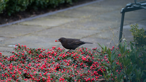 Female blackbird feeding on cotoneaster berries