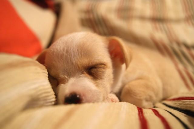 初日にたくさん遊んで眠った子犬