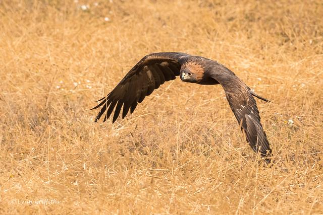 Golden Eagle 501_3905.jpg, Nikon D500, AF-S Nikkor 80-400mm f/4.5-5.6G ED VR