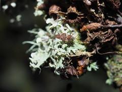 Physatocheila dumetorum