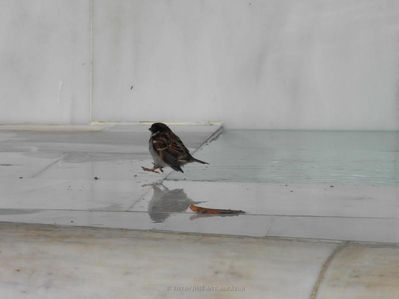 Gorrión en vuelo en el momento de posarse sobre el marmol blanco de una fuente