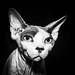 Nudist cat by marikoen