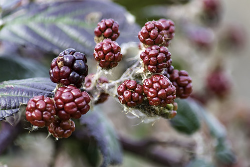 Winter Blackberries