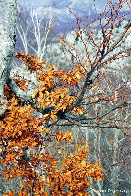 Бук с сухими листьями