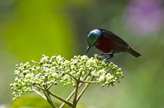 Van Hasselt's Sunbird (male)