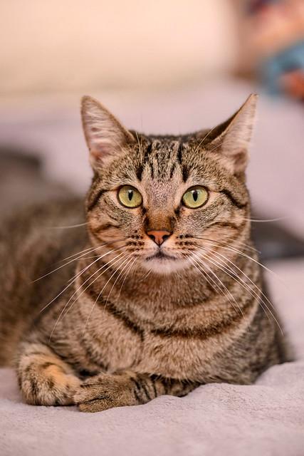 Ava, gata parda muy dulce y buena esterilizada, nacida en Enero´17, en adopción Valencia. RESERVADA. 46197301574_55cc6a7cc2_z