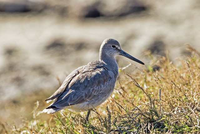 Willet, Canon EOS 7D MARK II, Canon EF 500mm f/4L IS II USM
