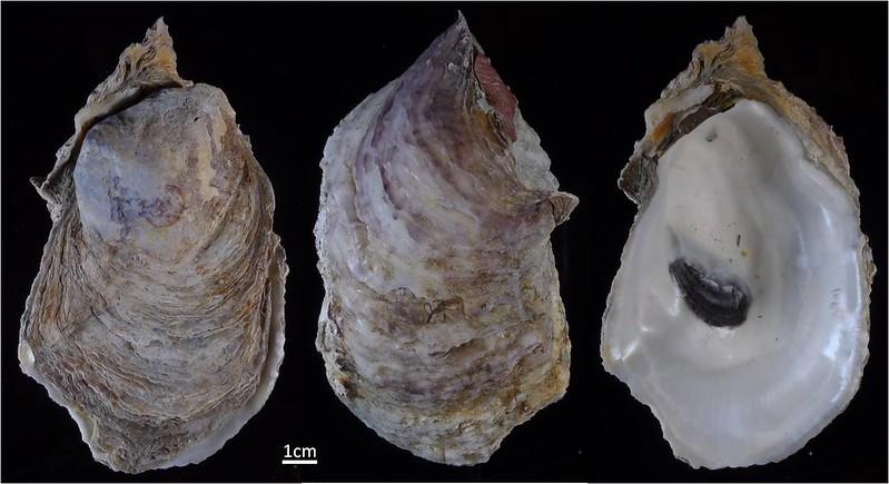 雙線牡蠣與台灣現行養殖的葡萄牙牡蠣體型相似,外殼有點淡紫色,研究團隊認定具有產業發展潛力。