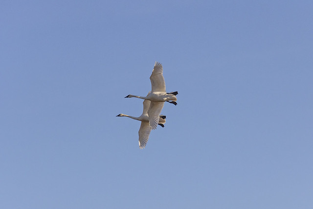 Trumper Swans in Flight, Canon EOS 60D, Canon EF-S 18-135mm f/3.5-5.6 IS