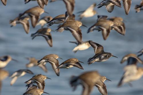 Flock of Dunlin
