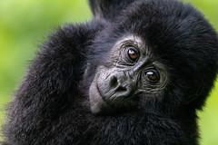 Infant Mountain Gorilla in Bwindi Impenetrable Forest, Uganda