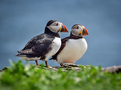 Puffins - Skellig Michael - May16