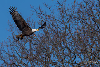 Bald Eagles of New Jersey | 2019 - 7