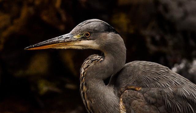 Grey Heron, Nikon D500, AF-S Nikkor 200-500mm f/5.6E ED VR