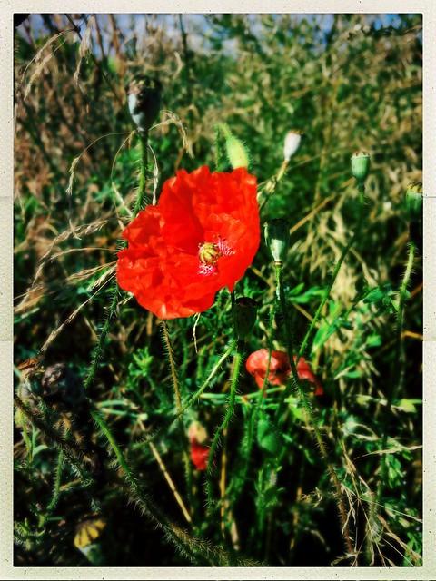 In Flanders Fields (Explored)
