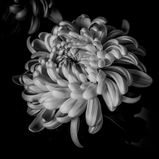 chrysanthemum in b&w