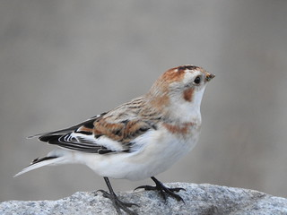 Snow Bunting, Nelson lakefront, Nov 2018 -1 | by riotambopata