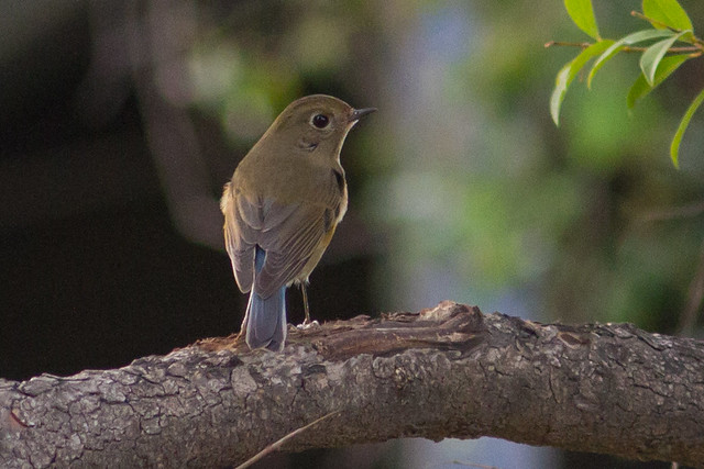 Red-flanked Bluetail, Canon EOS 7D, Canon EF 300mm f/4L IS