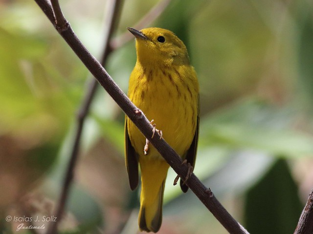 Yellow Warbler, Canon EOS REBEL T4I, EF400mm f/5.6L USM