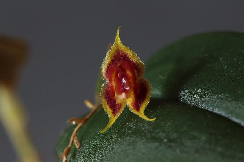 Miniatur-Orchideen Teil 4 - Seite 25 46105365191_af60968eec_c