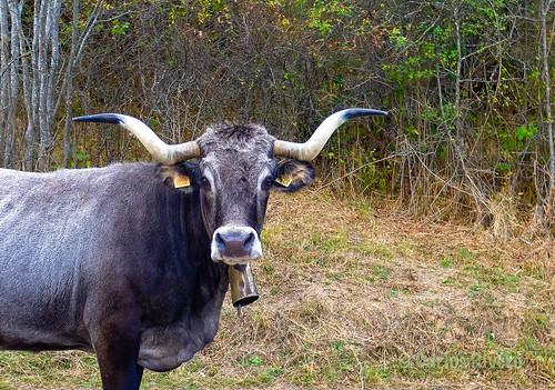 Vaca Tudanca cerca del río Nansa. Cantabria.