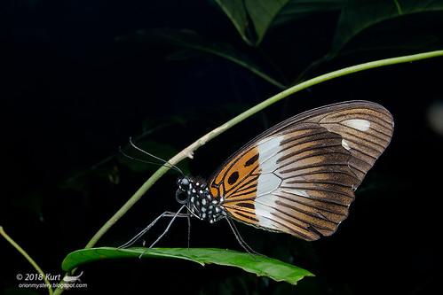 Papilio cynorta_MG_3186 copy